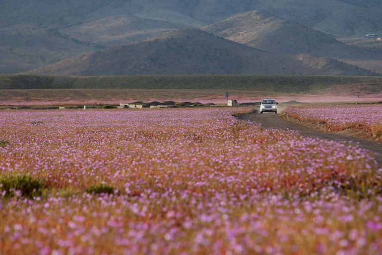 Atacama Desert_Flowers_Bloom_Climate_Change_8