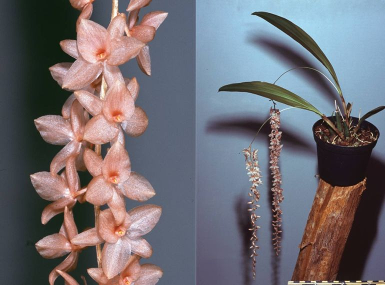 New Study Identifies Big Pink As a New Species Of Orchids-1