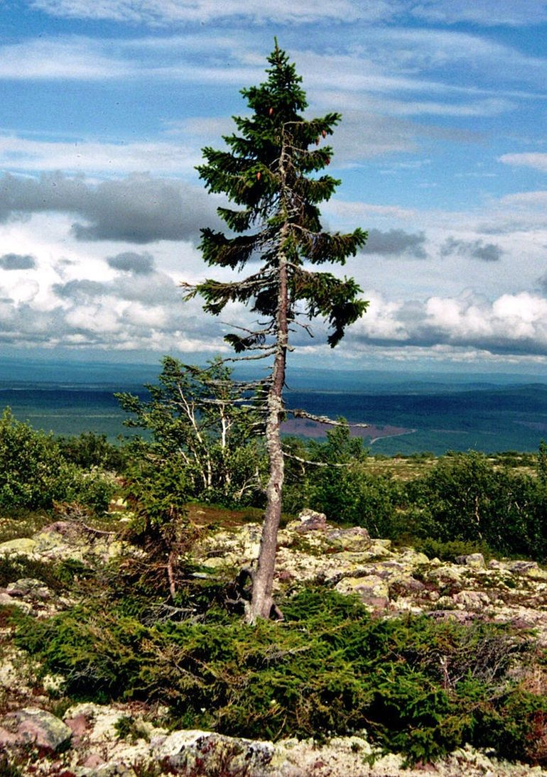 Sweden Is Home This Incredible 9,550-Year-Old Spruce-1