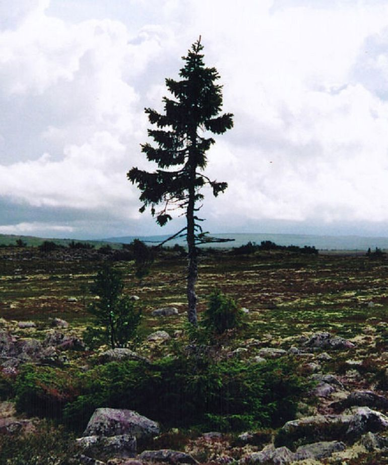 Sweden Is Home This Incredible 9,550-Year-Old Spruce-4