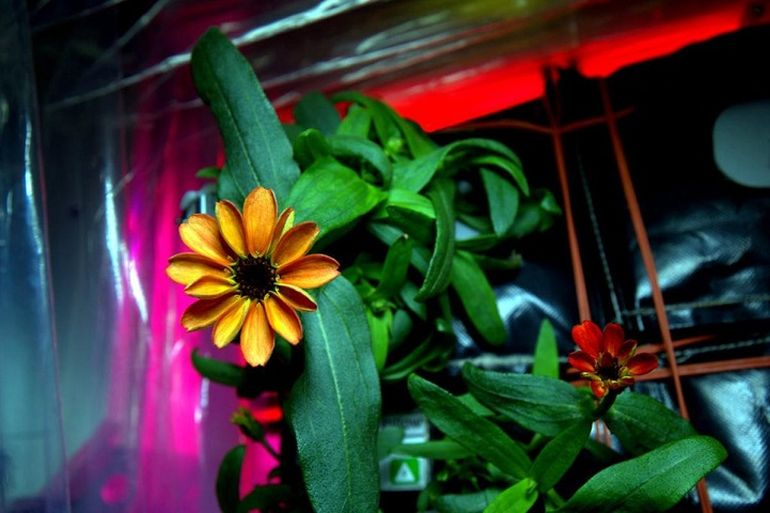A Team Of ISS Astronauts Has Grown The First Space Flower-2