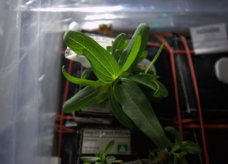 A Team Of ISS Astronauts Has Grown The First Space Flower-3