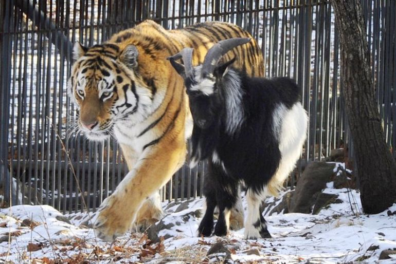 Meet Amur And Timur, The Incredible Tiger-Goat Duo That Lives Together-1