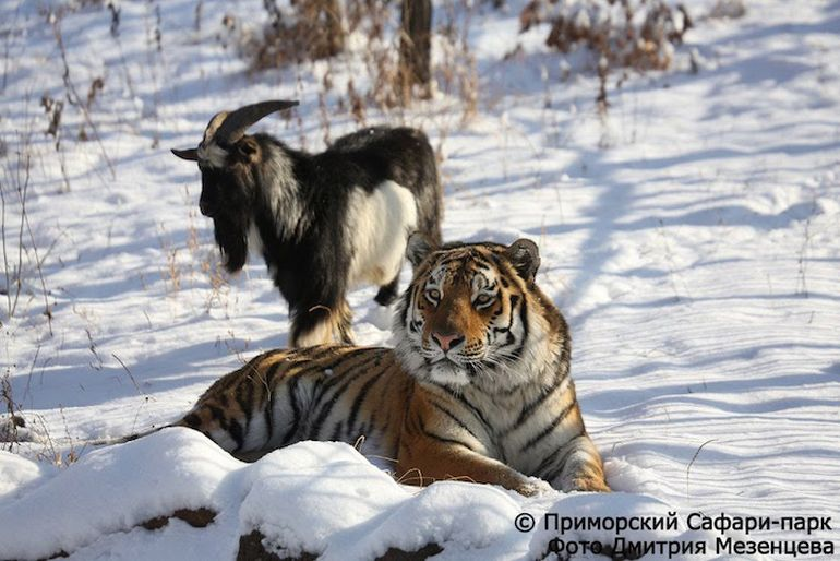 Meet Amur And Timur, The Incredible Tiger-Goat Duo That Lives Together-2