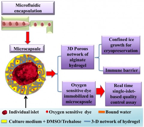 Seaweed_Hydrogel_Capsules_Avoid_Daily_Insulin_Injections_Diabetes_2