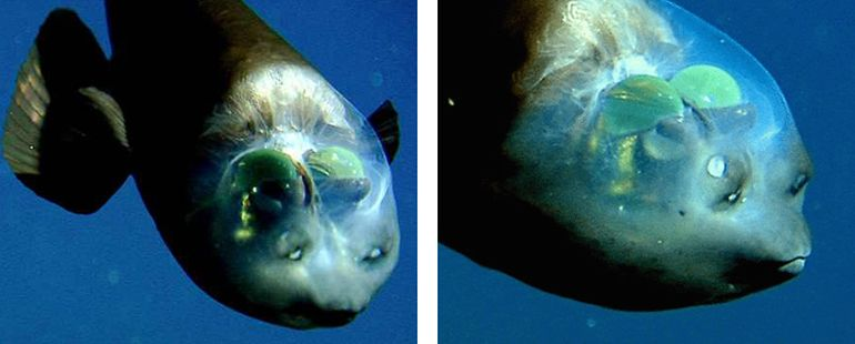 This Deep-Sea Fish Sports An Incredibly Unusual See-Through Head-1