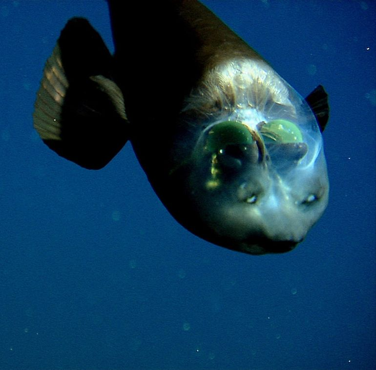 This Deep-Sea Fish Sports An Incredibly Unusual See-Through Head-2