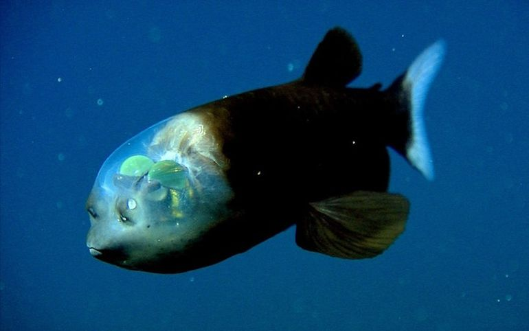 This deep sea fish sports an incredibly unusual see for What do fish see