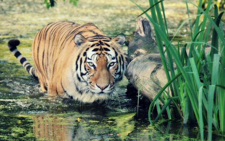 Wild Tiger Population On The Rise For The First Time In A Century-1