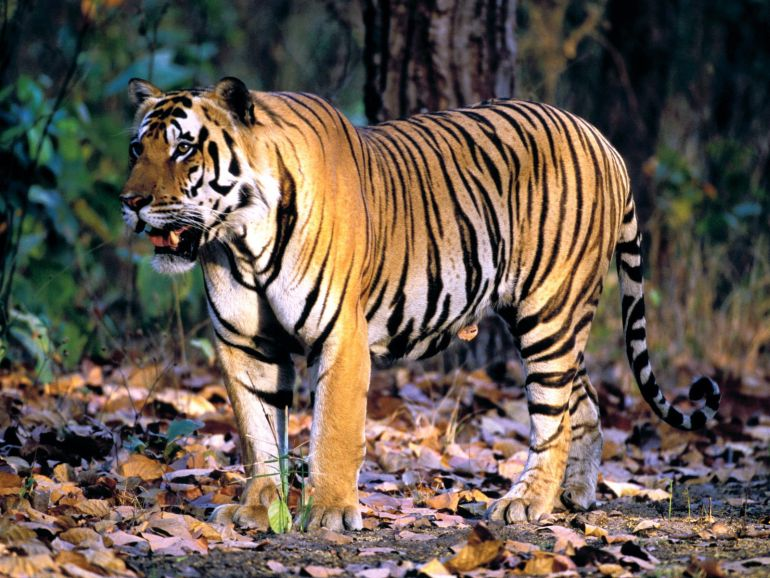 Wild Tiger Population On The Rise For The First Time In A Century-2