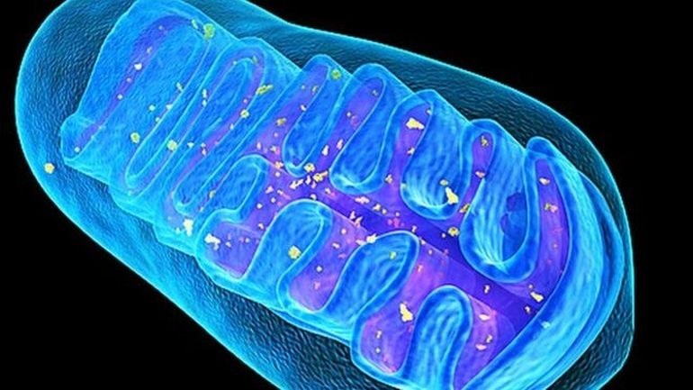 Fascinating Organism Is Devoid Of Mitochondria, Cell's Powerhouse-2