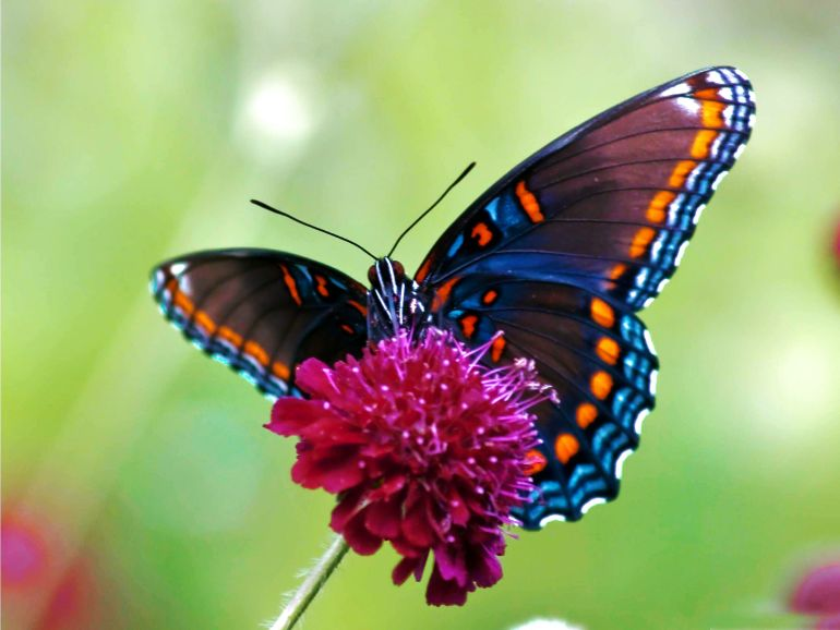 Butterfly Wings Could Pave The Way For Brighter Displays-2