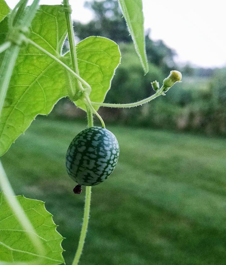 Cucamelons Tangy, Grape-Sized Hybrids Of Cucumbers And Melons-1