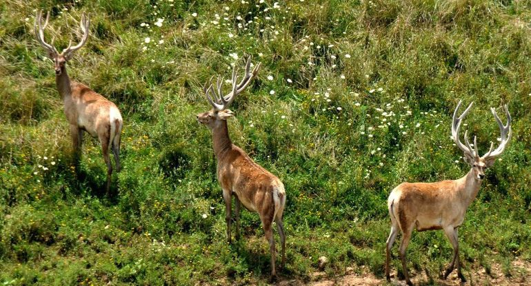 Rare Bactrian Deer Spotted In Afghanistan For The First Time In 40 Years-1