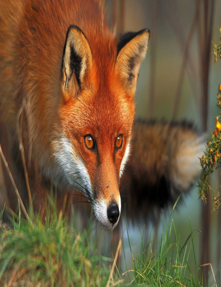 russian-scientists-manage-to-domesticate-foxes-in-less-than-50-years-1