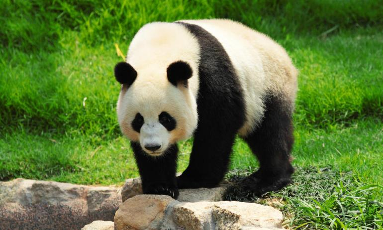 Good news! IUCN takes the giant panda off its endangered species list-2
