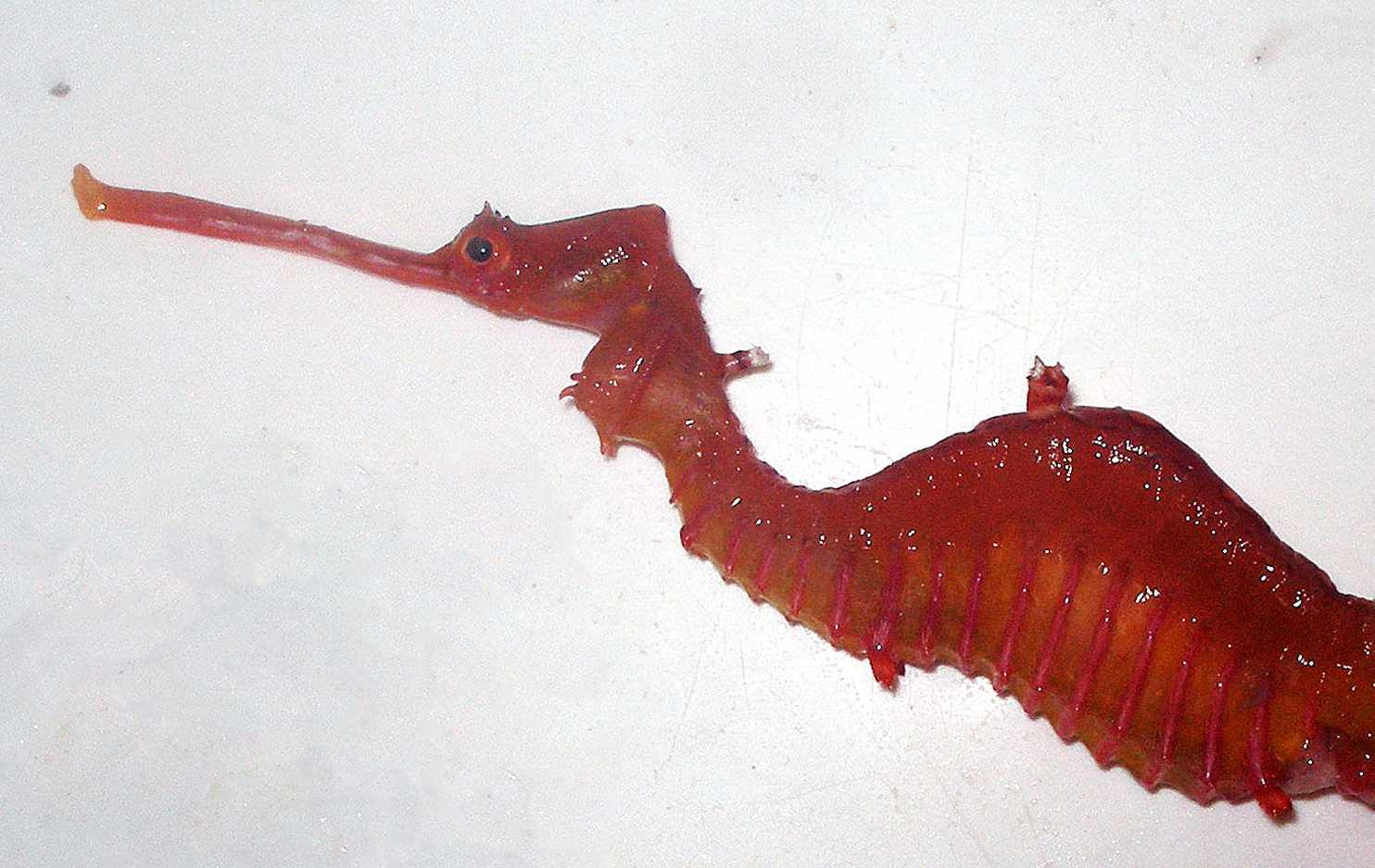 Elusive Ruby Seadragon Spotted In Nature For The First Time-2