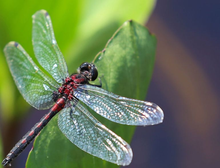 New research reveals how dragonfly wings obliterate bacteria without the help of antibiotics-5