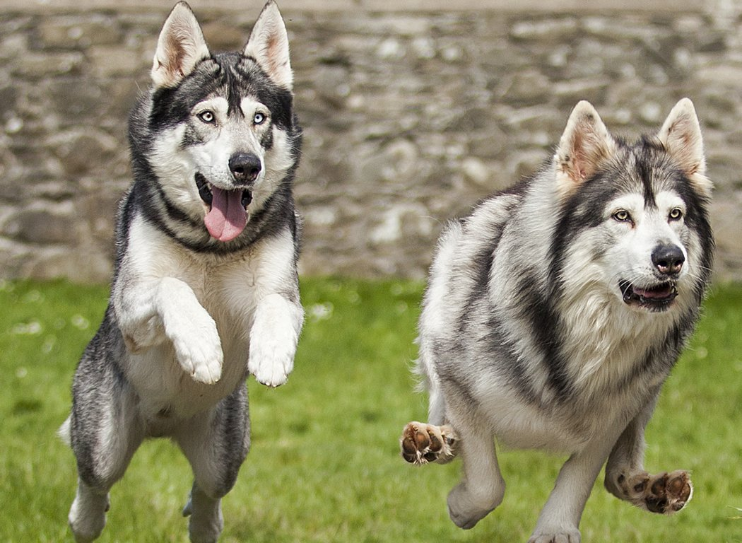Summer and Grey Wind, the direwolves in Game of Thrones are now on social media-1