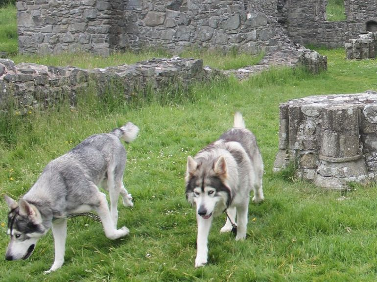 Summer and Grey Wind, the direwolves in Game of Thrones are now on social media-3