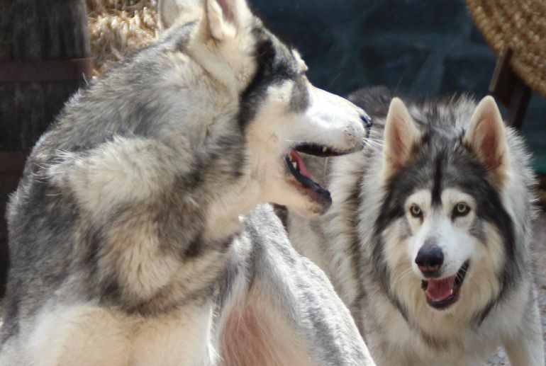 Summer and Grey Wind, the direwolves in Game of Thrones are now on social media-5