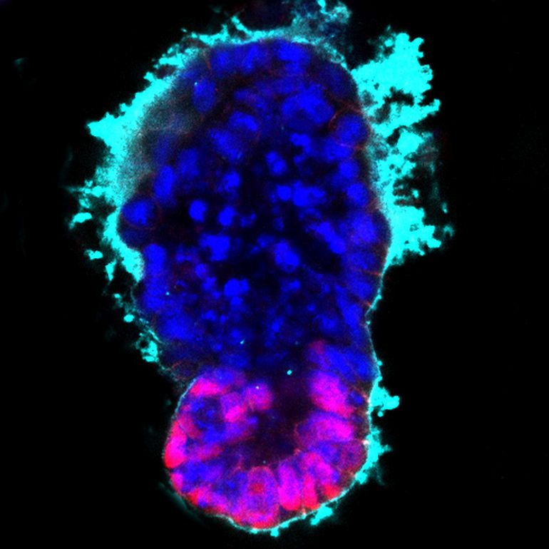 Researchers Make History By Creating The World's First Fully-Functioning Artificial Embryo-2