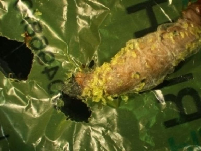 New Study Finds The Unspectacular Wax Worm Devouring Plastic Like Its Going Out Of Style-1