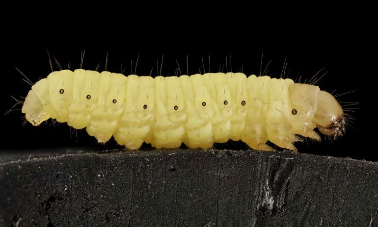 New Study Finds The Unspectacular Wax Worm Devouring Plastic Like Its Going Out Of Style-2