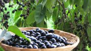 Jamun, Indian black plum, could reduce solar panel price by 40-percent-2