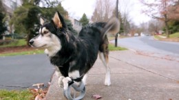 3D-printed-paws-allow-disabled-dog-to-run-1