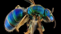USGS_macro-photos_bees_1
