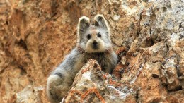 Ili Pika Spotted For The First Time In Two Decades-9