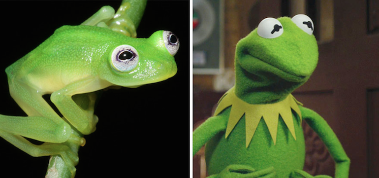 Newly-Discovered Kermit-Lookalike Glass Frog-1