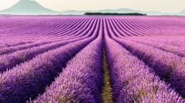 Mesmerising Beauty of Lavender Fields in Full Bloom-1