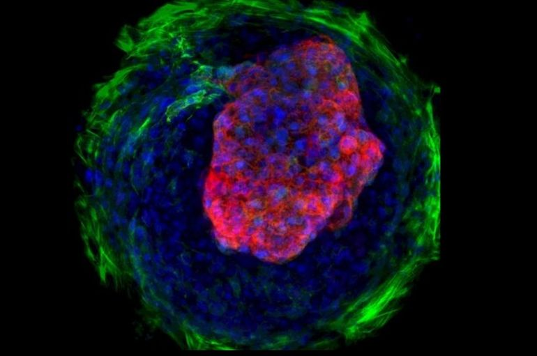 Scientists Develop Microscopic Beating Hearts-1