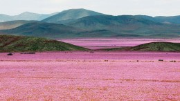 Atacama Desert_Flowers_Bloom_Climate_Change