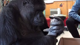 Koko_The_Gorilla_Friendship_Kittens_Video