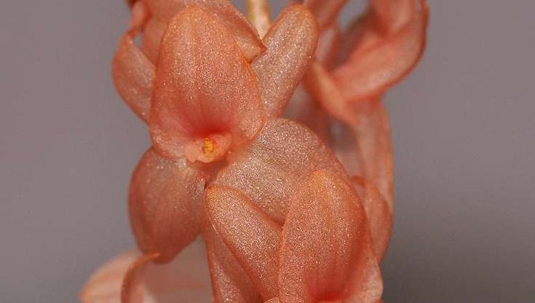 New Study Identifies Big Pink As a New Species Of Orchids-2