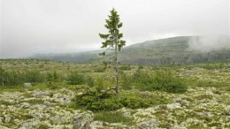 Sweden Is Home This Incredible 9,550-Year-Old Spruce-2