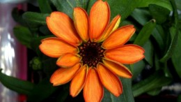 A Team Of ISS Astronauts Has Grown The First Space Flower-1