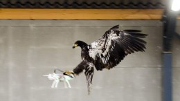 Dutch-Police-Are-Planning-to-Use-Eagles-To-Hunt-Down-Intrusive-drones-1