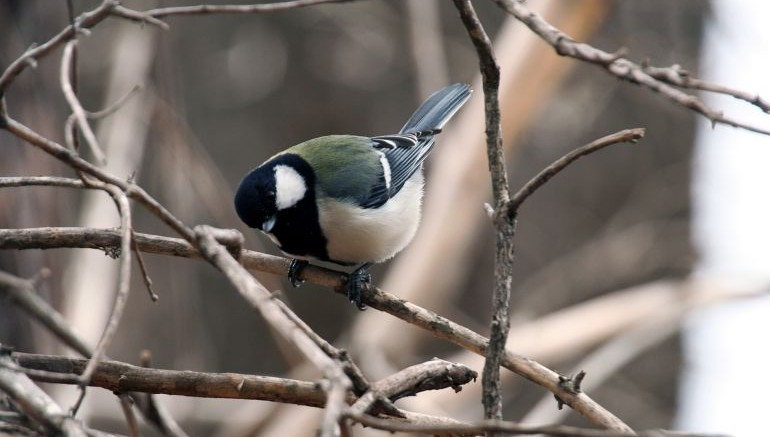 Birds, Like Humans, Follow Syntactic Rules While Communicating-1