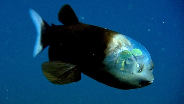This Deep-Sea Fish Sports An Incredibly Unusual See-Through Head-4