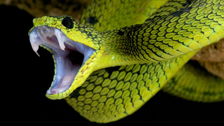 Universal Antivemon Could Neutralize Venom Of 28 Different Snakes-1