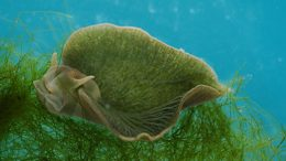 Sea Slug Thieves Algal Genes To Become Half-Animal, Half-Plant-3