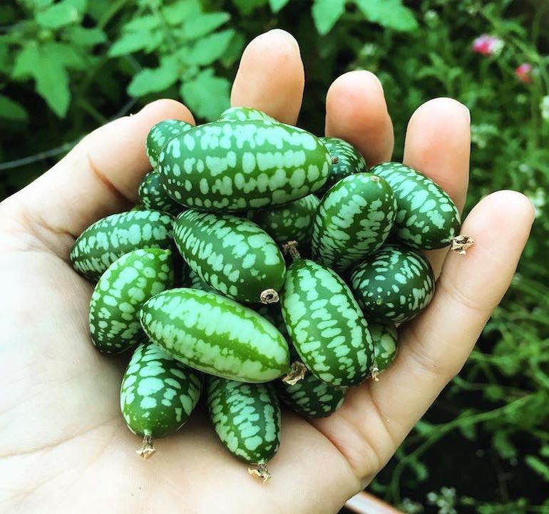 Cucamelons Tangy, Grape-Sized Hybrids Of Cucumbers And Melons-2