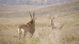 Rare Bactrian Deer Spotted In Afghanistan For The First Time In 40 Years-2