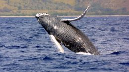 Scientists Investigate Humpbacks' Tendency To Save Animals From Orcas-1
