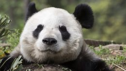 The giant panda has been officially taken off the endangered species list, thanks to an amazing 17-percent growth in its population in the last decade-1