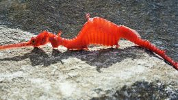 Elusive Ruby Seadragon Spotted In Nature For The First Time-1